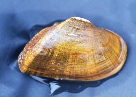 Elktoe Mussel